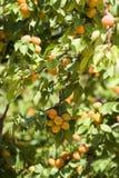 Gouden abrikozen Stock Foto