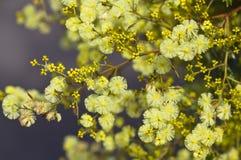 Gouden Acacia Royalty-vrije Stock Afbeeldingen