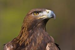 Gouden adelaar Royalty-vrije Stock Afbeelding