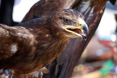 Gouden adelaar Royalty-vrije Stock Foto's