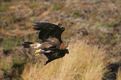 Gouden adelaar, Aquila-chrysaetos Royalty-vrije Stock Afbeelding