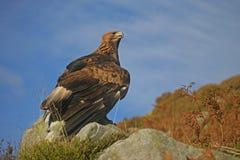 Gouden adelaar, Aquila-chrysaetos stock afbeeldingen