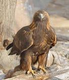 Gouden adelaar (aquilachrysaetos) stock foto's