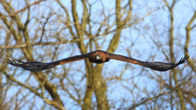 Gouden adelaar (aquilachrysaetos) Royalty-vrije Stock Foto's