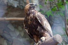 Gouden adelaar in de dierentuin van Moskou stock afbeelding