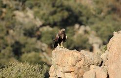 Gouden adelaar die op zijn grondgebied letten Royalty-vrije Stock Foto's