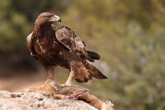 Gouden adelaar op de rotsen Stock Foto