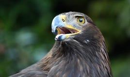 Gouden adelaar in Spanje royalty-vrije stock foto's