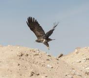 Gouden adelaar tijdens de vlucht Stock Foto's