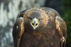 Gouden adelaarsschreeuw Royalty-vrije Stock Fotografie