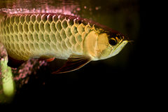 Gouden arowanavissen of draakvissen in vissentank stock foto