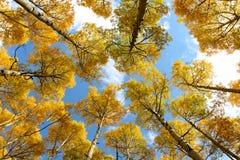 Gouden Aspen Canopy Royalty-vrije Stock Afbeelding