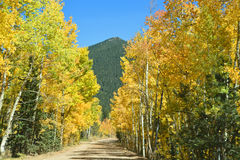 Gouden Aspen Lined Fall Country Road Stock Afbeeldingen