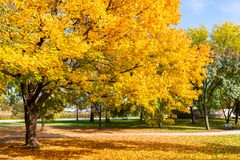 Gouden Autumn Colored Tree in Lincoln Park Chicago royalty-vrije stock foto's