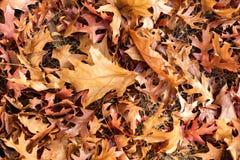 Gouden Autumn Fall-bladeren ter plaatse in Adelaide South Austra stock fotografie