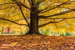 Gouden Autumn Leaves Maple Tree royalty-vrije stock fotografie