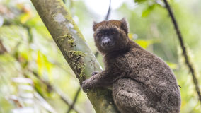 Gouden bamboemaki die op een boom in Madagascar liggen Stock Afbeeldingen