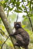 Gouden bamboemaki die op een boom in Madagascar liggen Royalty-vrije Stock Afbeeldingen