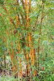 Gouden bamboestelen stock foto