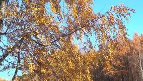 Gouden berk stock footage