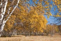 Gouden berken onder blauwe hemel stock foto's