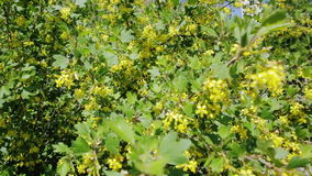 Gouden besstruik met gele bloemen stock video