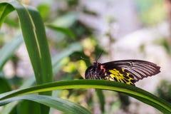 Gouden Birdwing of Kleine Birdwing-Vlinder (Troides-aeacus) stock foto