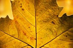 Gouden blad in de herfst Stock Foto's
