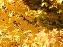 Gouden bladeren Stock Foto's