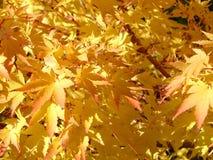 Gouden bladeren Stock Afbeeldingen