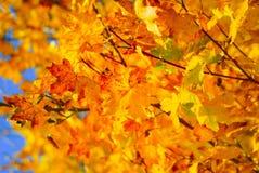 Gouden bladeren stock afbeelding