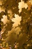 Gouden bladeren Stock Foto