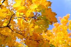 Gouden bladeren in de medio herfst stock foto's