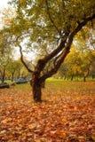 Gouden bladeren op tak, de herfsthout met zonstralen Stock Foto