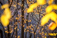 Gouden bladeren tegen naakte bomen in het bos royalty-vrije stock fotografie