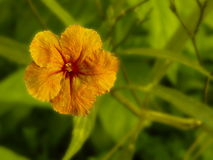 Gouden bloem Gele Bloem Stock Afbeelding