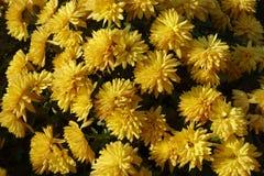 Gouden bloemen van Chrysant in de herfst stock fotografie