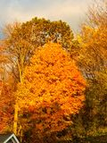 Gouden bomen Stock Foto's