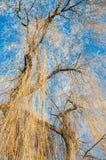 Gouden Bomen in de Winter Stock Foto's