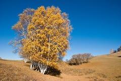 Gouden bomen in zonsondergang Stock Fotografie