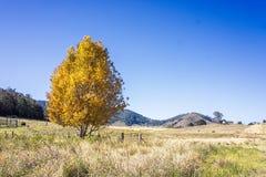Gouden boom in Australisch landschap Stock Foto's