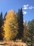 Gouden boom in Geheim voorgeheugen Nationaal Bos stock foto