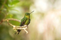 Gouden-Breasted Puffleg-zitting op tak, kolibrie van bergen, Colombia, Nevado del Ruiz, vogel die, uiterst kleine mooie vogel nee royalty-vrije stock fotografie