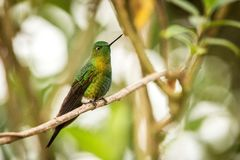 Gouden-Breasted Puffleg-zitting op tak, kolibrie van bergen, Colombia, Nevado del Ruiz, vogel die, uiterst kleine mooie vogel nee stock afbeelding