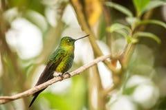Gouden-Breasted Puffleg-zitting op tak, kolibrie van bergen, Colombia, Nevado del Ruiz, vogel die, uiterst kleine mooie vogel nee stock foto's