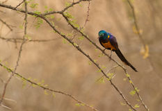Gouden-Breasted Starling op acacia Stock Afbeelding