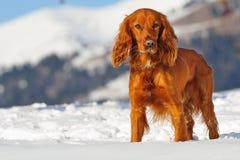 Gouden Britse cocker-spaniël die zich in de sneeuw bevindt royalty-vrije stock afbeelding