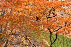 Gouden Bruin Autumn Maple Foliage, Nikko Japan royalty-vrije stock foto's