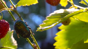 Gouden Chafer kever die (Cetonia-aurata) op aardbeistruik beklimt stock videobeelden