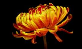 Gouden chrysantenbloem stock afbeeldingen